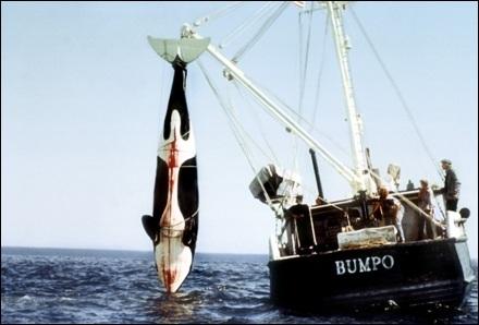 Foto de la orca capturada.