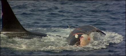 Foto de la orca arrastrando a la hembra.